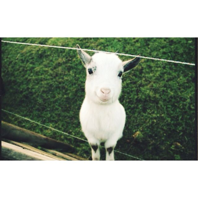 Take the smiley goat & make your day bright