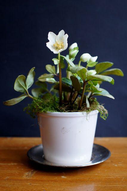 Helleborus, my favorite Christmas flower.    lumo lifestyle