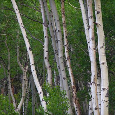 Poetictouch's photo.  Young aspen trees