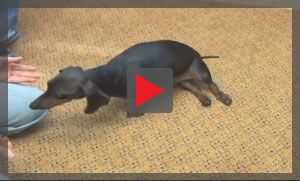 See A Dog With Hind Limb Paralysis Due To Ivdd This Dog S