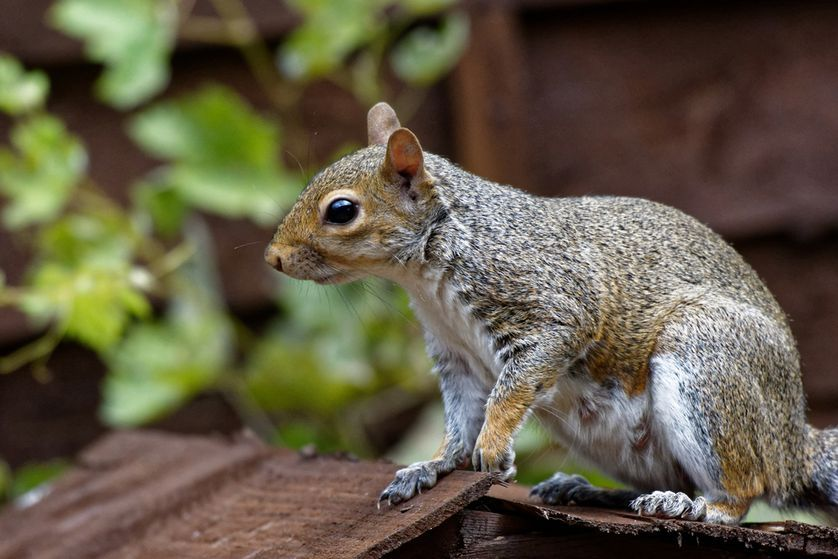 How to keep squirrels out of your attic Squirrel, Get