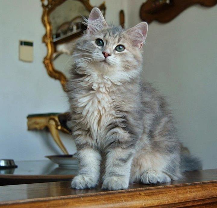 Blue Golden Siberian Cat Pretty Cats Baby Cats