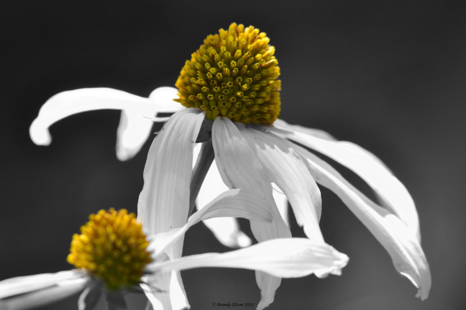 Flower Photography Coneflowers Home Decor Wall Decor Black And White