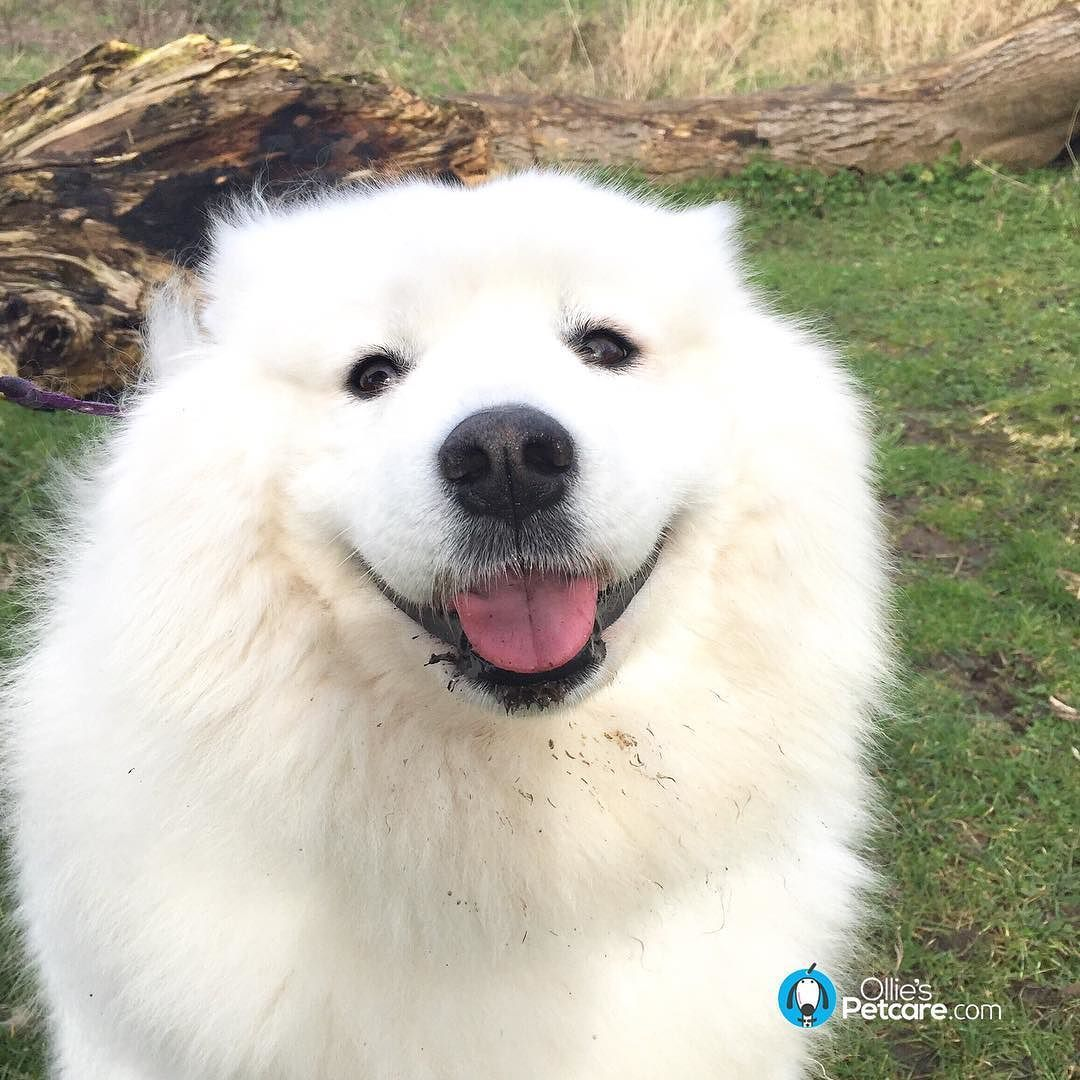 Polo Has A Big Samoyed Smile For You This Evening Woofs Dogs