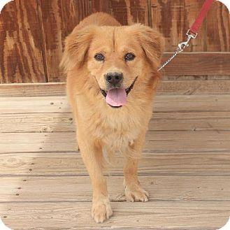 Palo Alto Ca Golden Retriever Corgi Mix Meet Coleman A Dog