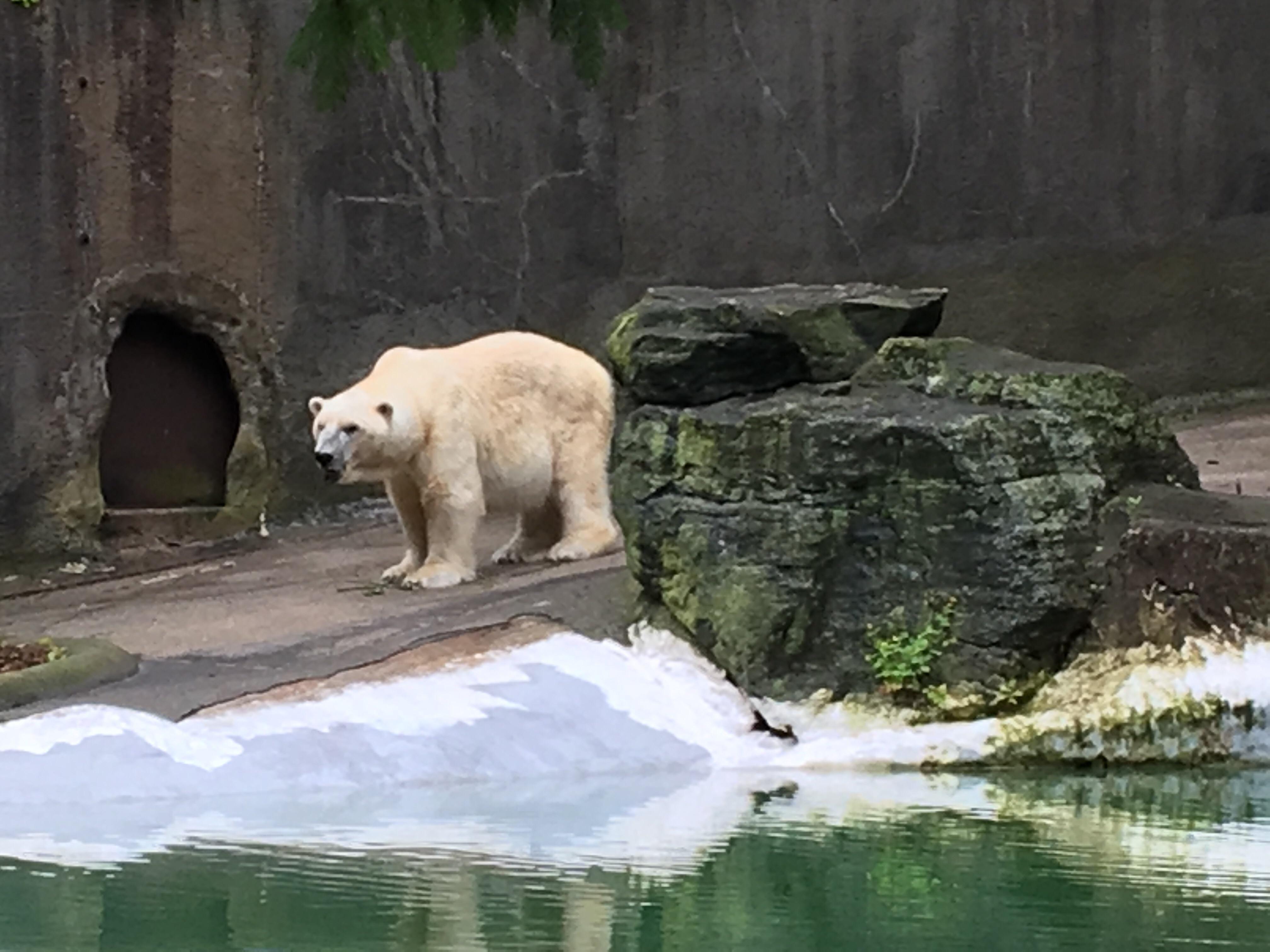 Polar Bear At Bronx Zoo Http Ift Tt 2rmviwv Bronx Zoo Polar Bear Zoo