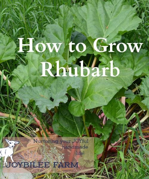 Rhubarb Companion Plants: How To Grow Rhubarb For A Perpetual Harvest That Lasts For