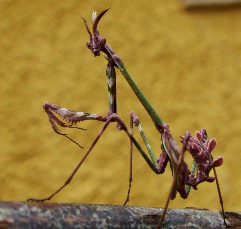 Una Mantis Palo Empusa Pennata C J Ruiz Gamez Praying Mantis Cool Bugs Insects