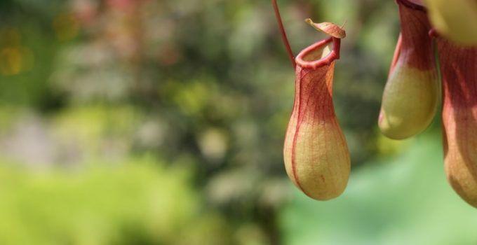 18 Jenis Tanaman Hias Bunga Kantung Semar