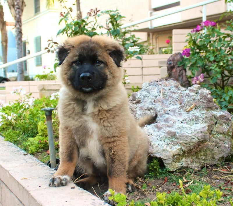 Adopt Fuffernutter On Chow Chow Dogs Dogs Chow Chow
