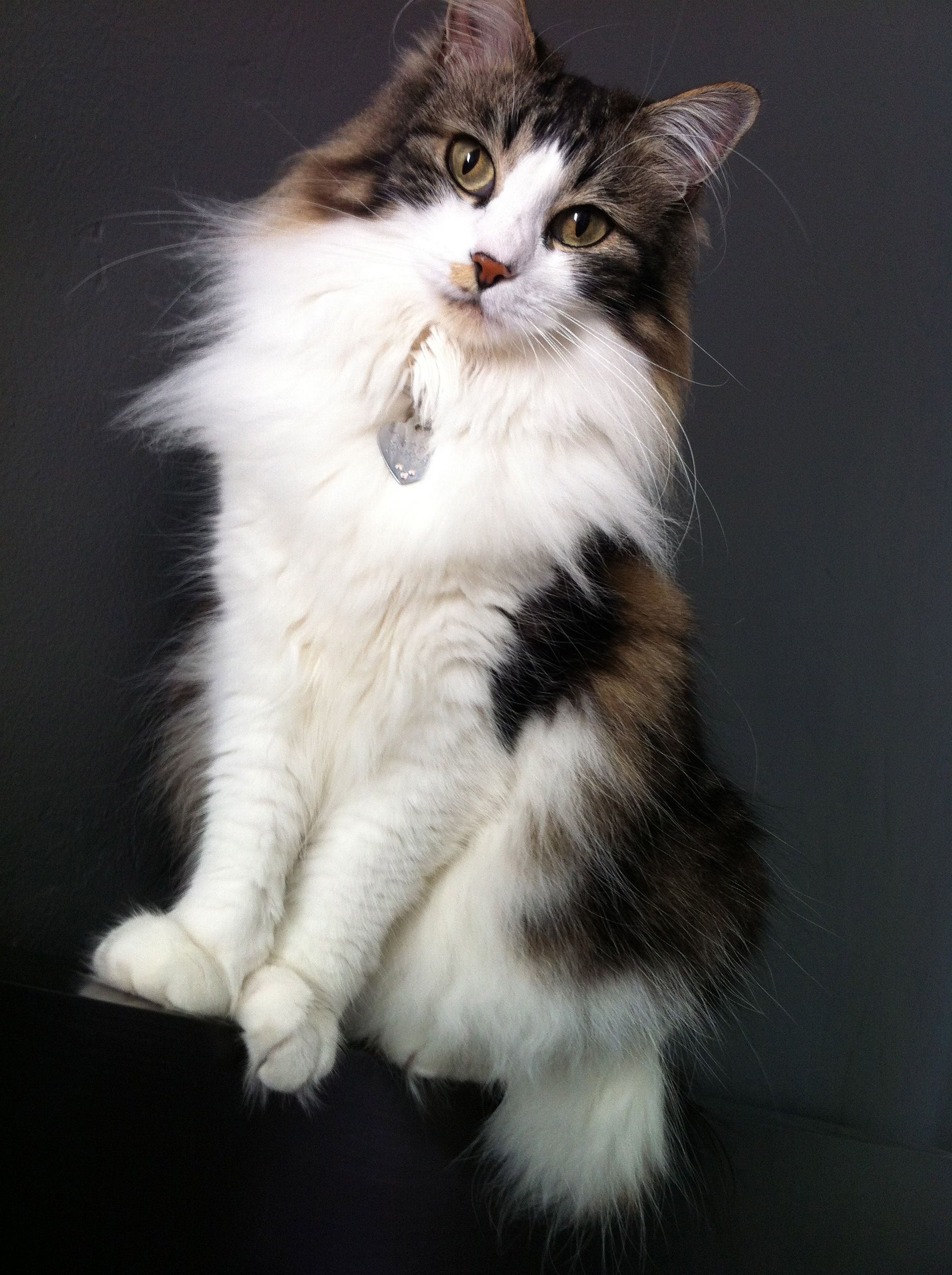My Carrie Bradshaw Is Such A Ham This Is Not A Photo Studio She S Standing On My Headboard Against My Bedroom Wall C Norwegian Forest Cat Animals Cute Cat