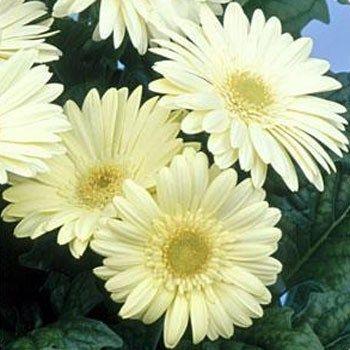 Gerbera Seed White Gerbera Daisy Flower Seeds Gerbera Flower Seeds Gerbera Daisy
