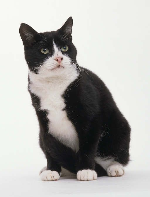 Black And White Domestic Shorthair Cat Black And White