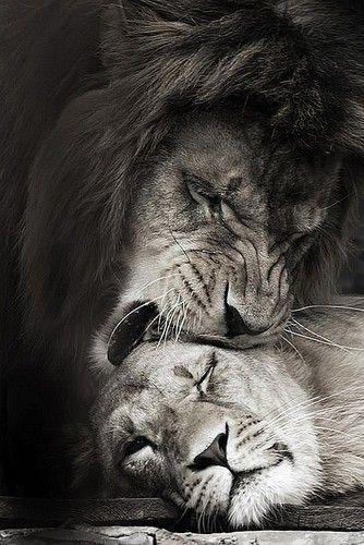 Famous Lion And Lioness Quotes Lion Lioness Quotes Lioness Quote