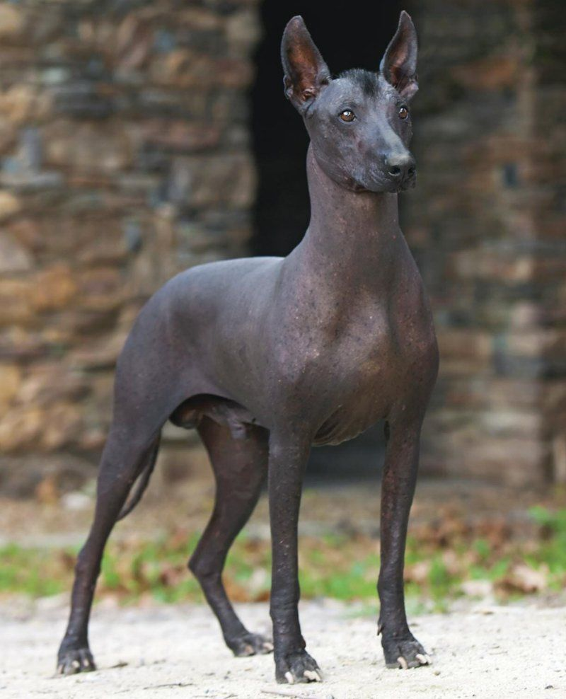 6 Amazing Animals That Start With The Letter X Mexican Hairless