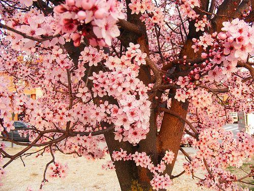 Scenery Breathtaking Tree Sakura Cherry Blossom Spring Cherry Blossom Blossom Beautiful Tree