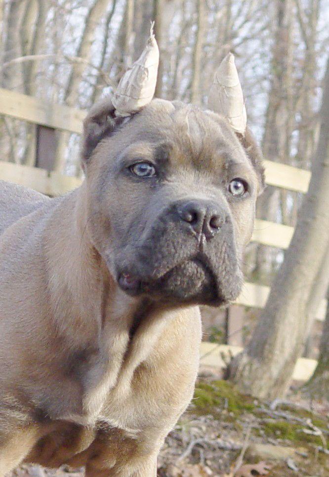 Formentino Male Cane Corso Dog Cane Corso Puppies