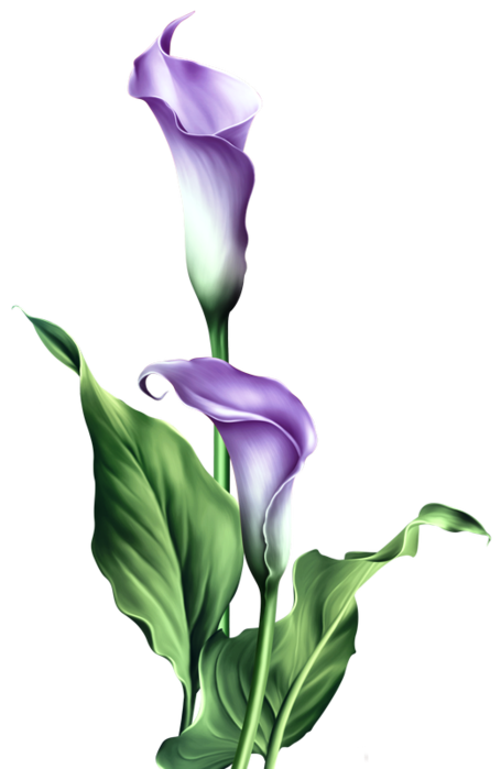 Calla Lily Flower Png Google Search Lilies Drawing Watercolor Flowers Paintings Flower Sketches