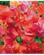 """Sweet pea """"Summer Sizzler"""" Lathyrus odoratus L Blomsterne har flotte varme klare farver. God klatrer. Duftende. Attraktivt for sommerfugle. Ideel som afskårne blomster. Trives bedst i fuld sol. Pluk regelmæssigt, for at tilskynde flere blomster. Så: april-maj udendørs til blomstring i juni-september. Type Type1 årig klatrende sommerblomst Højdeca 180 cm Blomstrer/høstesmaj - oktober Vækstforholdsol i næringsrig jord Plantedybde1,5 cm forkultiveres fra januar. Så på friland fra april"""
