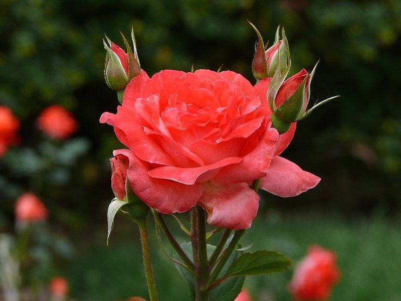 Camelot Grandiflora Rose Smells So Good Beautiful Roses Rose
