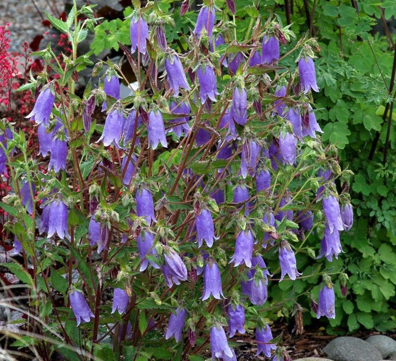 Campanula seeds summertime blues easy care hybrid