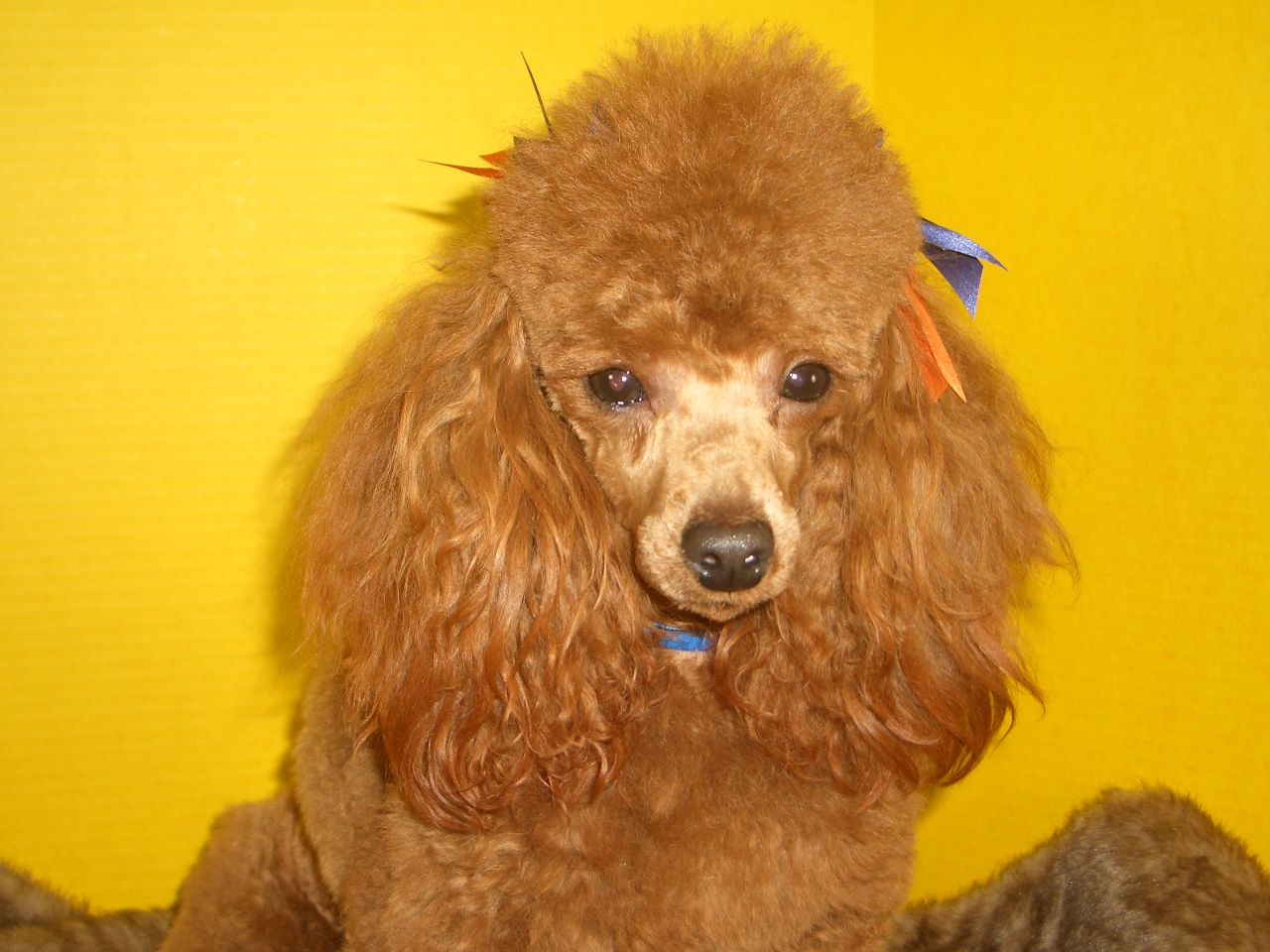 Red poodle puppies california