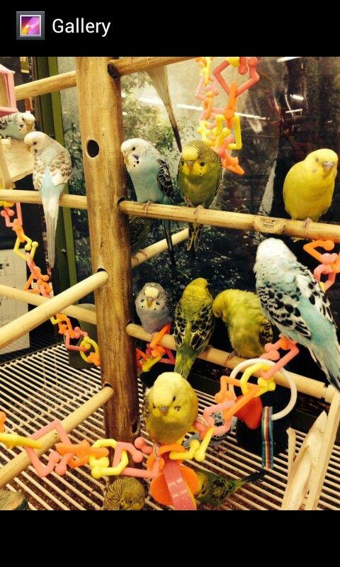 Parakeets at Petco      parakeets   Parakeet, Budgies, Birds