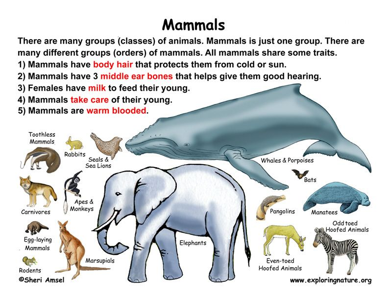 Clification Of Living Things Chart Cl Mammals Grade K 3 Exploring Nature Educational Resource