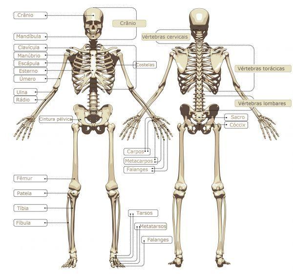 Sistema Esquelético | esqueleto | Pinterest | Sistema esquelético ...