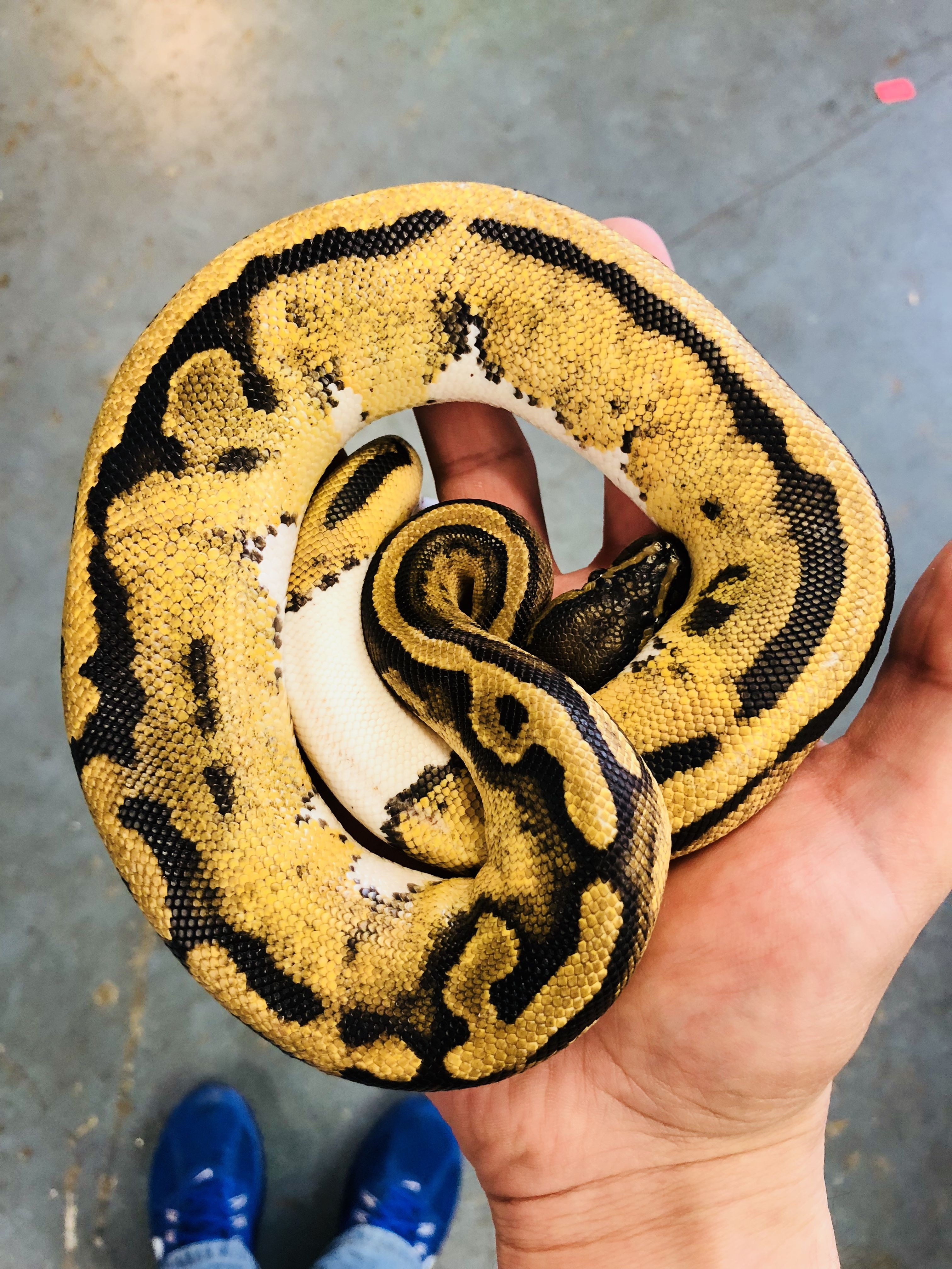Pied ball python   Reptiles   Pinterest   Schlangen