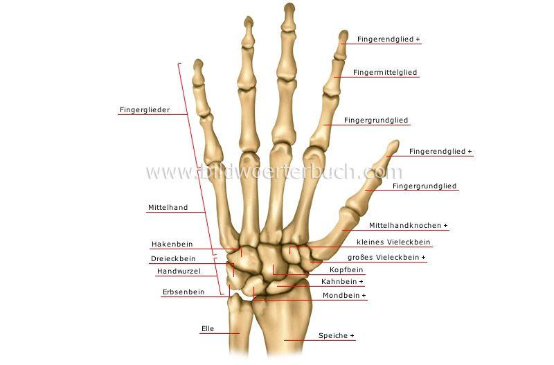 Handknochen Bild | Sensenmann | Pinterest | Anatomie skelett, Mensch ...