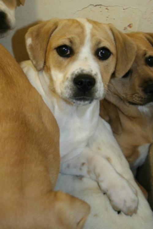 Adopt Bardot On Beagle Dog Anatolian Shepherd Dogs