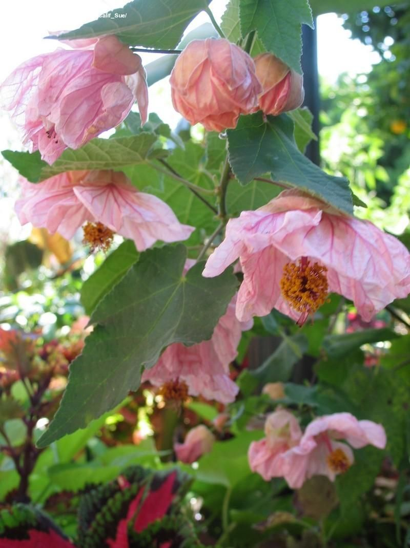 Full size picture of Flowering Maple 'Mobile Pink' Blooms all summer!