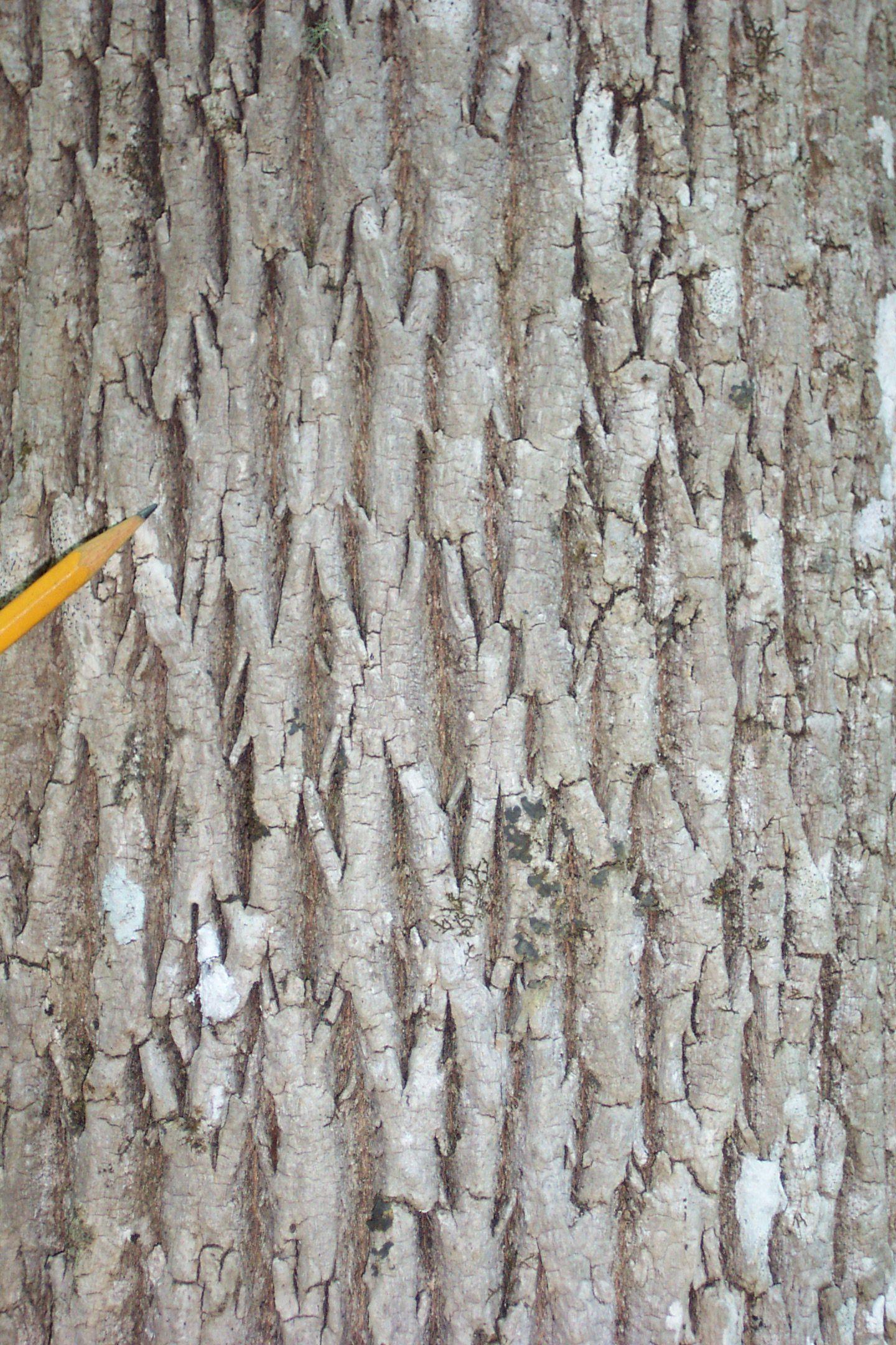 fraxinus spp. bark - Google Search