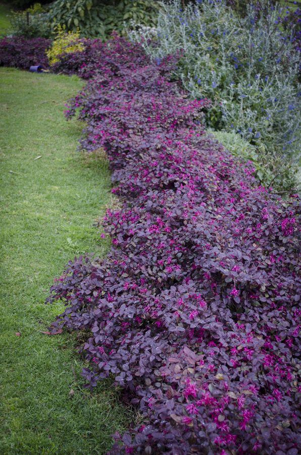 Loropetalum Plum Gorgeous Small Gardens Patios And Courtyards