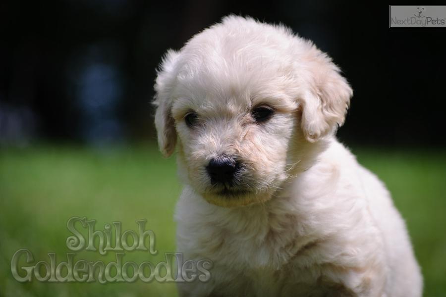 A Handsome Goldendoodle Puppy Named Charlie Goldendoodle Puppy