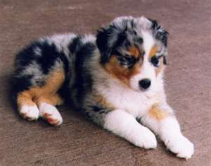Love Puppies Australian Shepherd Puppies Shepherd Puppies Baby Animals