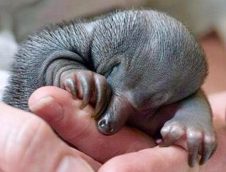The smallest attraction at Queensland's Australia Zoo - a baby puggle  weighing only 696 grams