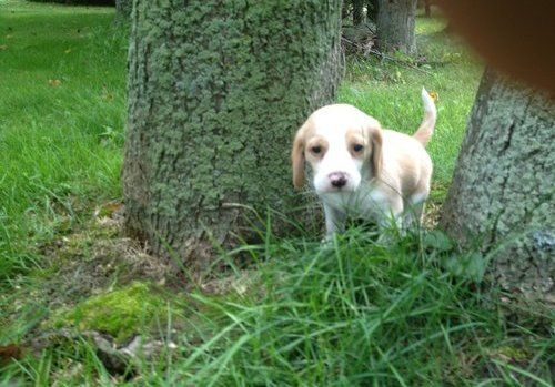 Approx Beagle Puppies 13 Inch Size Tricolored Pups Beagle