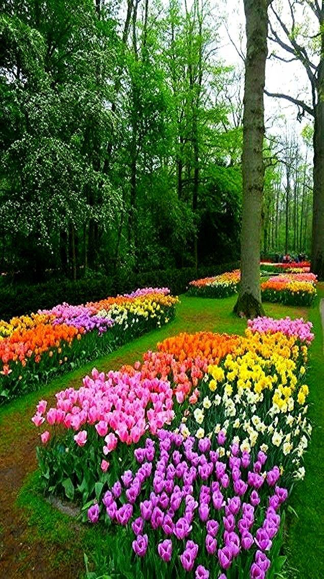 Pin by Annie Koss on Bunga tulp in 2020 Beautiful