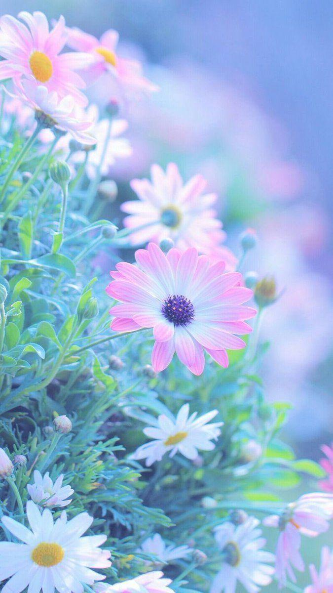 Derick On Twitter ヒナギク 花 壁紙 美しい花