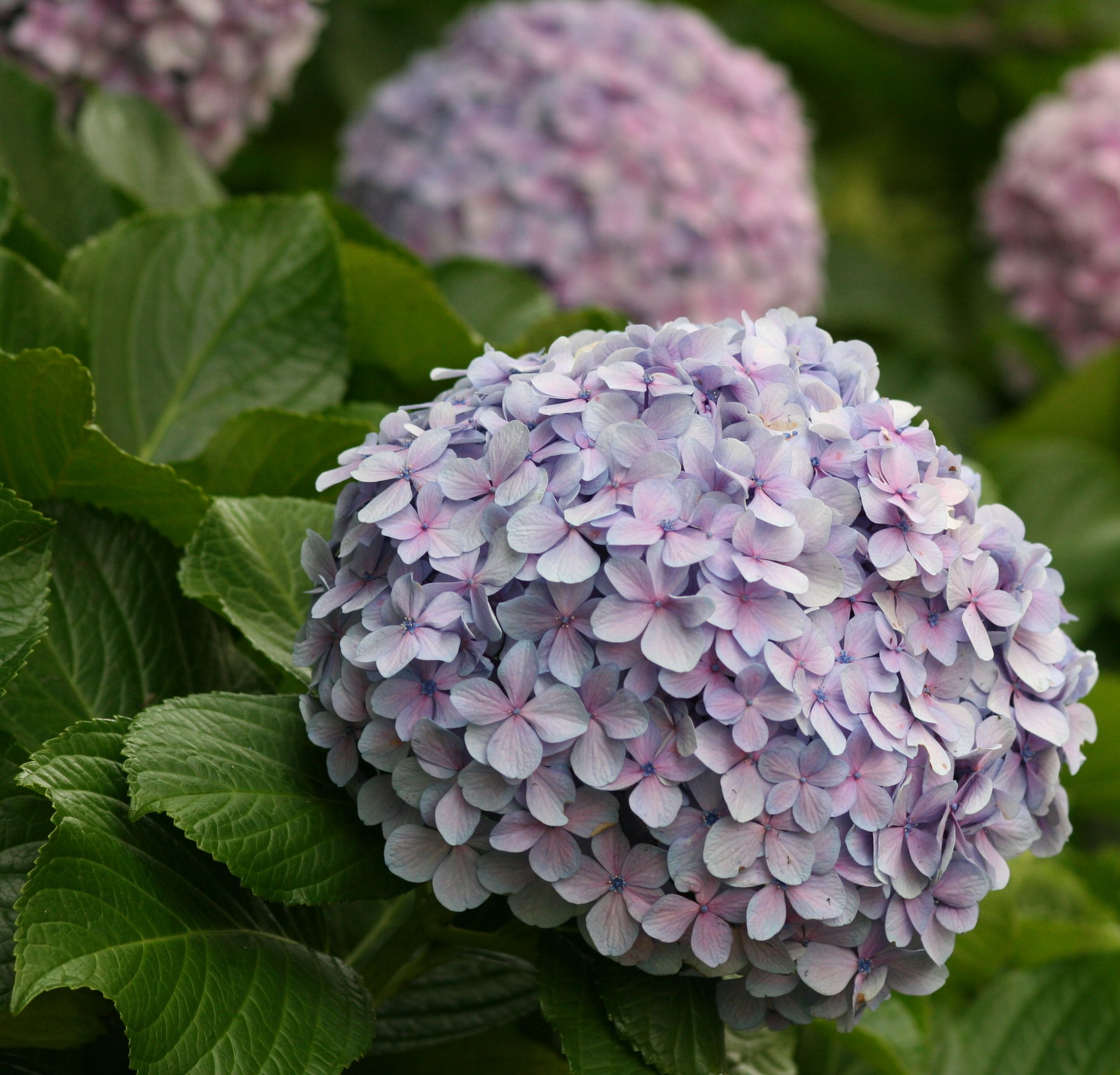 First Discovered In Japan The Name Hydrangea Comes From The Greek Hydor Meaning Water And Angos Meaning Jar Or Vess Hydrangea Flowers Beautiful Flowers