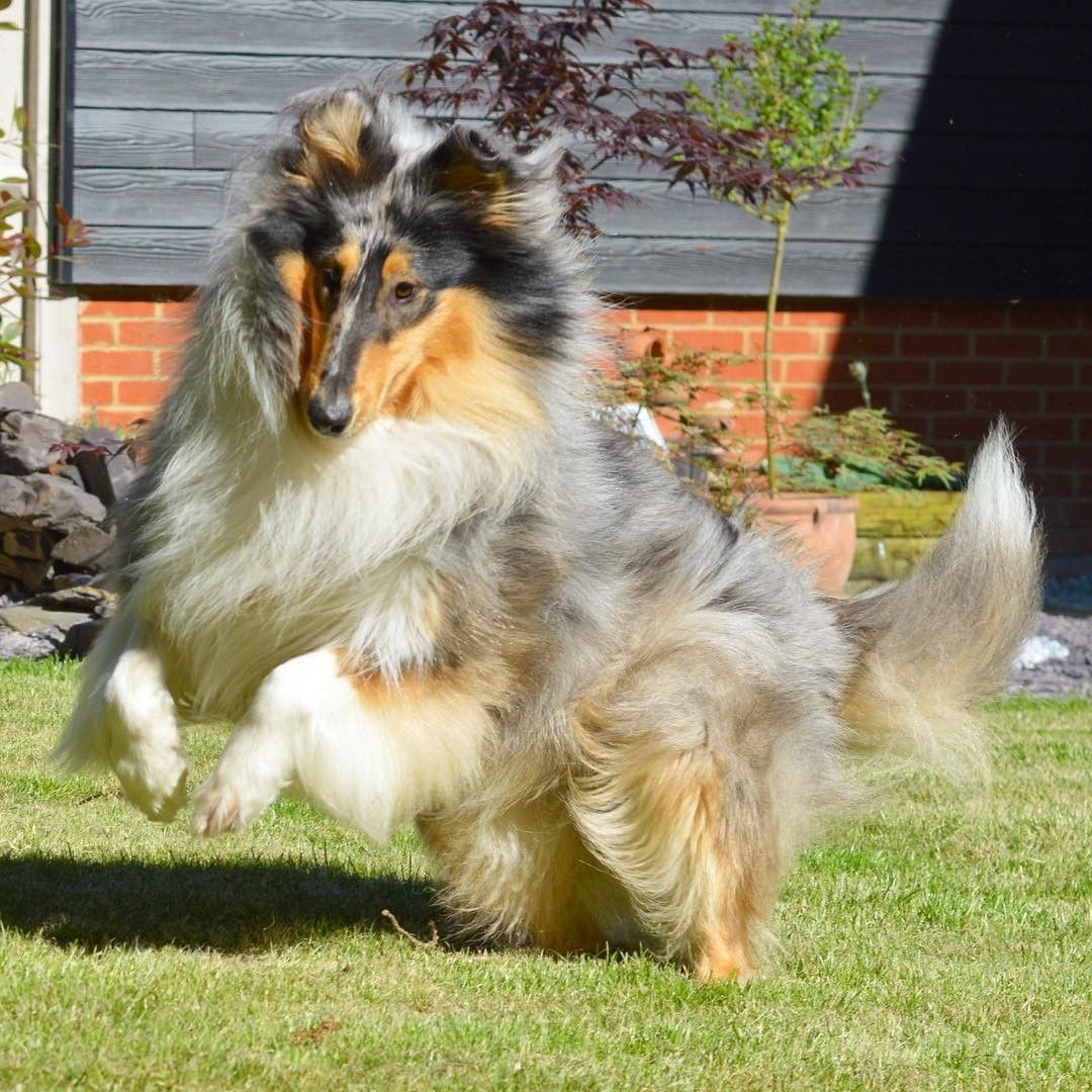 Dusty Rough Collie Roughcollie From Uk