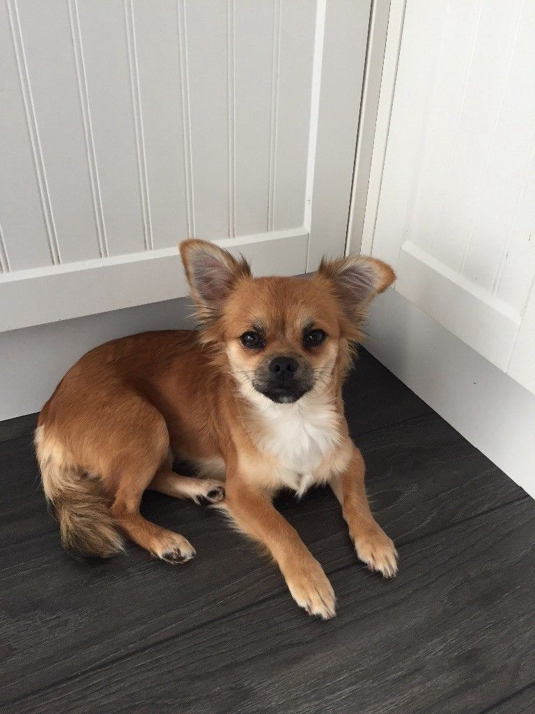 Chihuahua Female In Coventry West Midlands Gumtree Cute