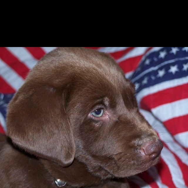 Chocolate Lab Puppy Lab Puppies Chocolate Lab Puppies Puppies
