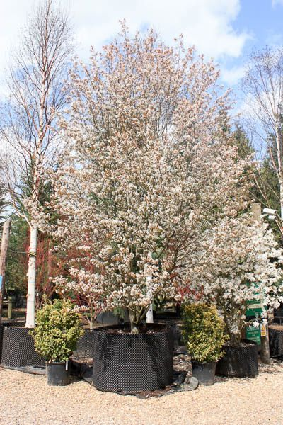amelanchier lamarckii june berry tree shrub majestic. Black Bedroom Furniture Sets. Home Design Ideas