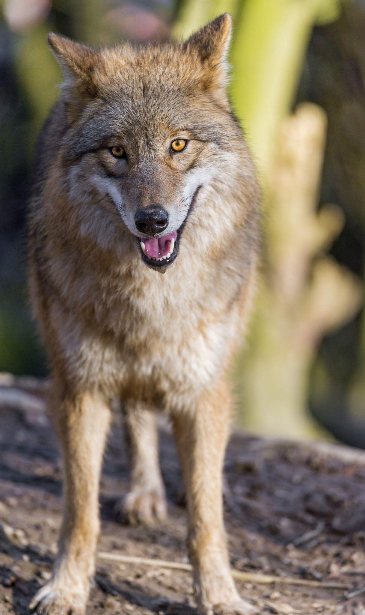 Pretty standing wolf