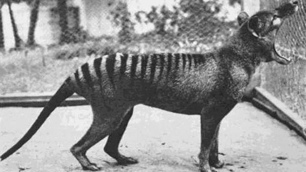 Le tigre de Tasmanie considéré comme éteint est-il toujours en vie ? Des Australiens affirment l'avoir vu    En savoir plus : http://www.maxisciences.com/tigre-de-tasmanie/le-tigre-de-tasmanie-considere-comme-eteint-est-il-toujours-en-vie-des-australiens-affirment-l-039-avoir-vu_art39351.html  Copyright © Gentside Découverte