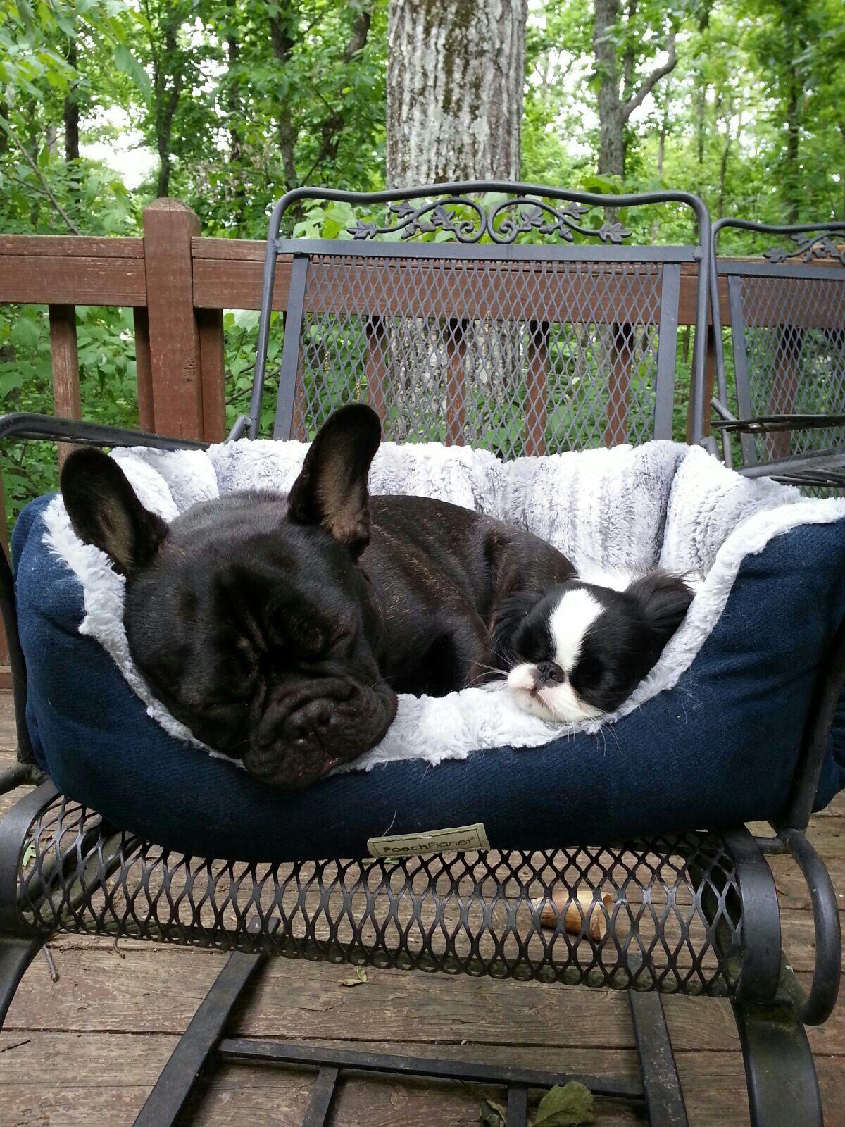 Boo and skeeter french bulldog dog cat bulldog