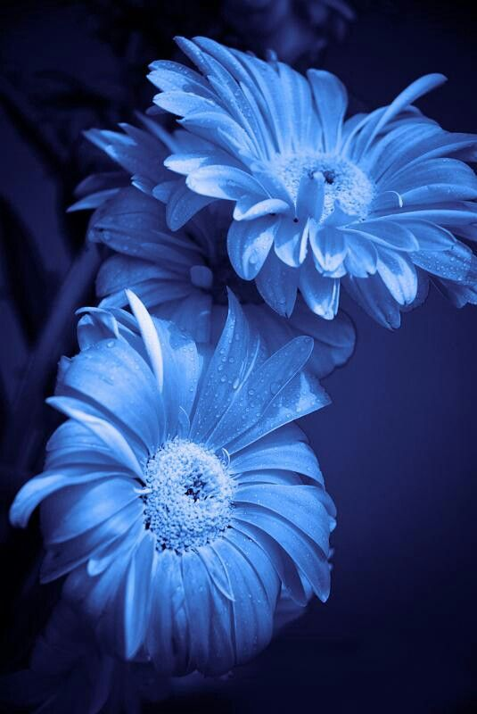 Blue daisy                                                                                                                                                                                 More